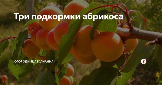 Как и чем подкормить абрикос весной, летом и осенью
