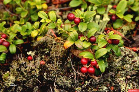 Садовая брусника – довольно необычная культура для огорода, мы расскажем о том, как ее одомашнить. В статье и видео – все нюансы выращивания ягоды.