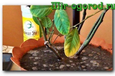 Чем подкормить лимон в домашних условиях, как удобрять лимонное дерево во время плодоношения, зимой, осенью и в другие сезоны