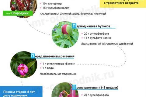 Подкормка пионов осенью, весной и летом удобрениями и народными средствами