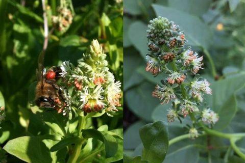 Цветок резеда — особенности выращивания на дачном участке