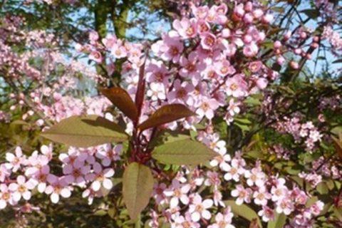 Розовая Мечта — сорт растения Черемуха