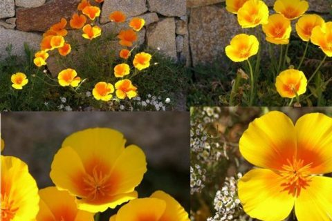 Растение эшшольция: описание цветов, посадка и уход в открытом грунте, применение в саду