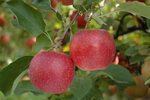 Яблоня Апрельская: описание сорта и его фото, особенности выращивания