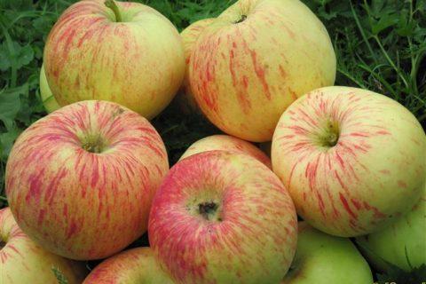 Сорт яблони Балтика: фото, отзывы, описание, характеристики.