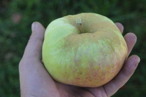 Яблоня Богатырь — описание сорта, фото, выращивание и уход
