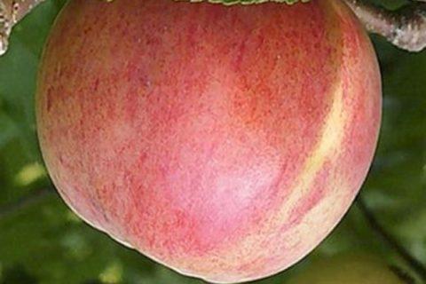 Яблоня Болотовское: описание сорта, фото, отзывы