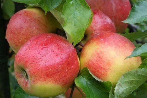 Джонаголд яблоня: описание сорта, отзывы, урожайность, фото, стоит ли сажать