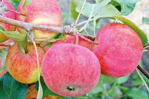 Сорт: Яблоня, Дочь Коричного