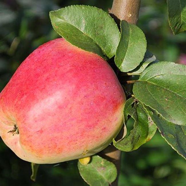 Выращивание яблони «Кандиль Орловский»