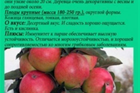 Кармелита — сорт растения Яблоня декоративная