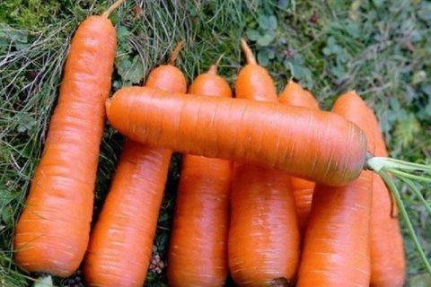 Морковь Шантане: описание сорта, отзывы, выращивание и уход