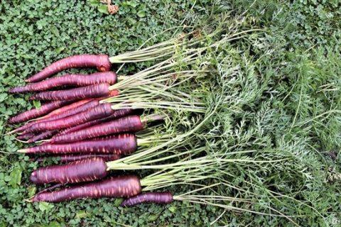 Морковь Шоколадный заяц f1: характеристики и правила выращивания