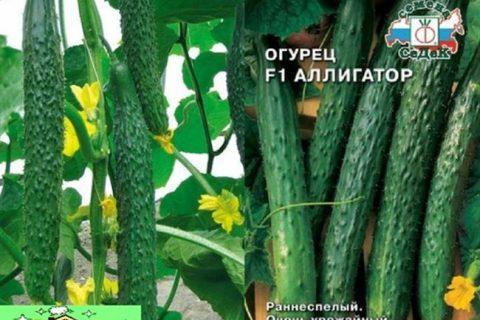 Огурец Аллигатор f1: описание китайского сорта, выращивание куста в теплице, посадки и уход, фото и