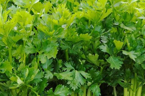 Среднеспелый сорт сельдерея «Ванюша»: описание и отзывы