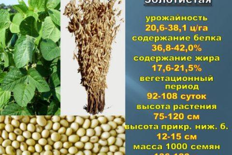 Тематический материал о популярной культуре из семейства бобовых, сортах ранней сои и высокоурожайных гибридах, предназначенных для выращивания в РФ.