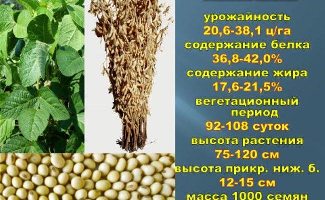 Весточка - сорт растения Соя