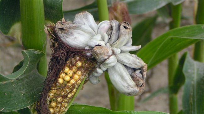 Чем болеет кукуруза и от каких вредителей защищают культуру?