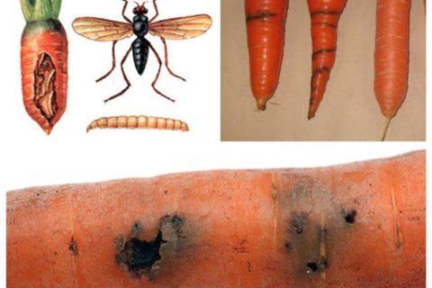 Вредители моркови с фото и названиями: как избавиться, профилактика
