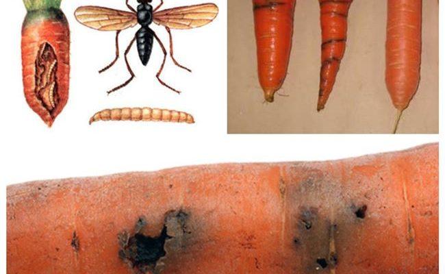 Защита моркови от вредителей – Описания и фото и методы борьбы с вредителями